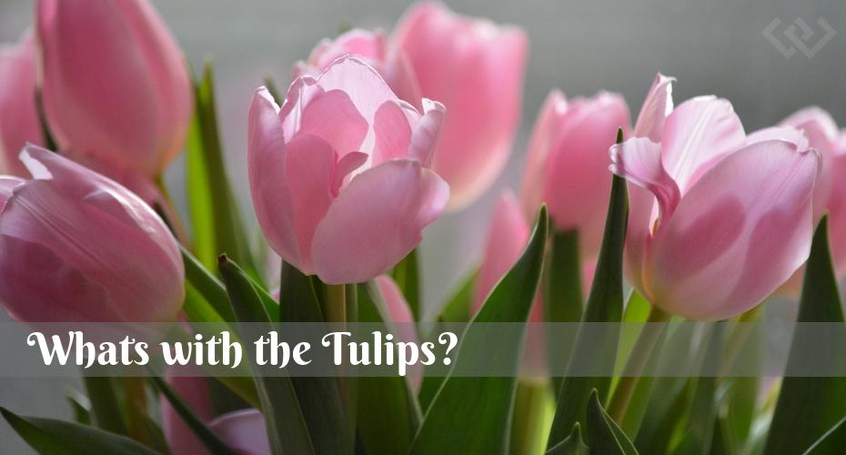 tulips, Flowers, Whidbey Island, Langley